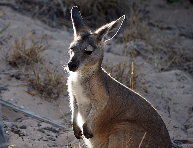 Kangaroo enjoying the beach Coral Coast
